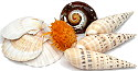 Display Quality Shells Tropical sea shells