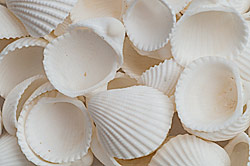 White Cockle shells
